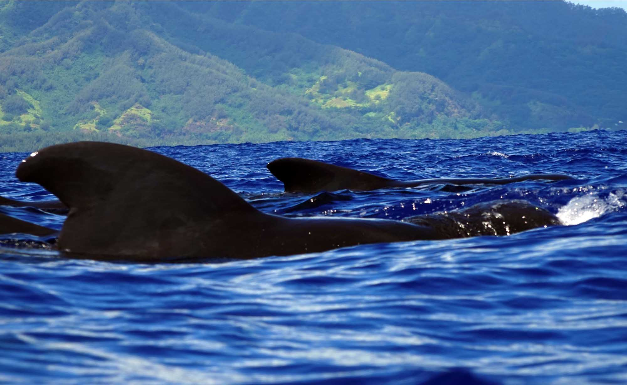 Pilot whales watching Moorea Marine Wildlife Private Tours