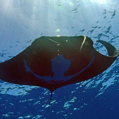 manta ray snorkeling moorea ocean adventures