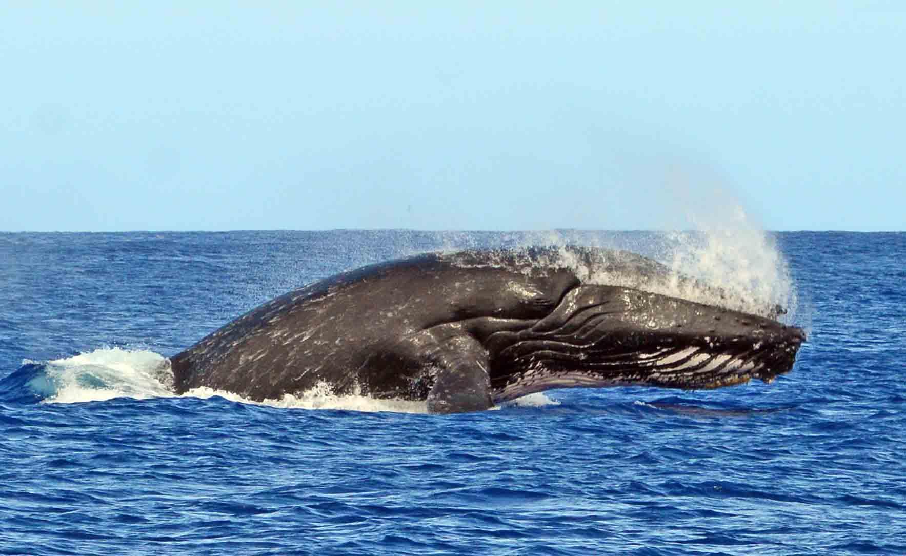 whale snorkeling moorea