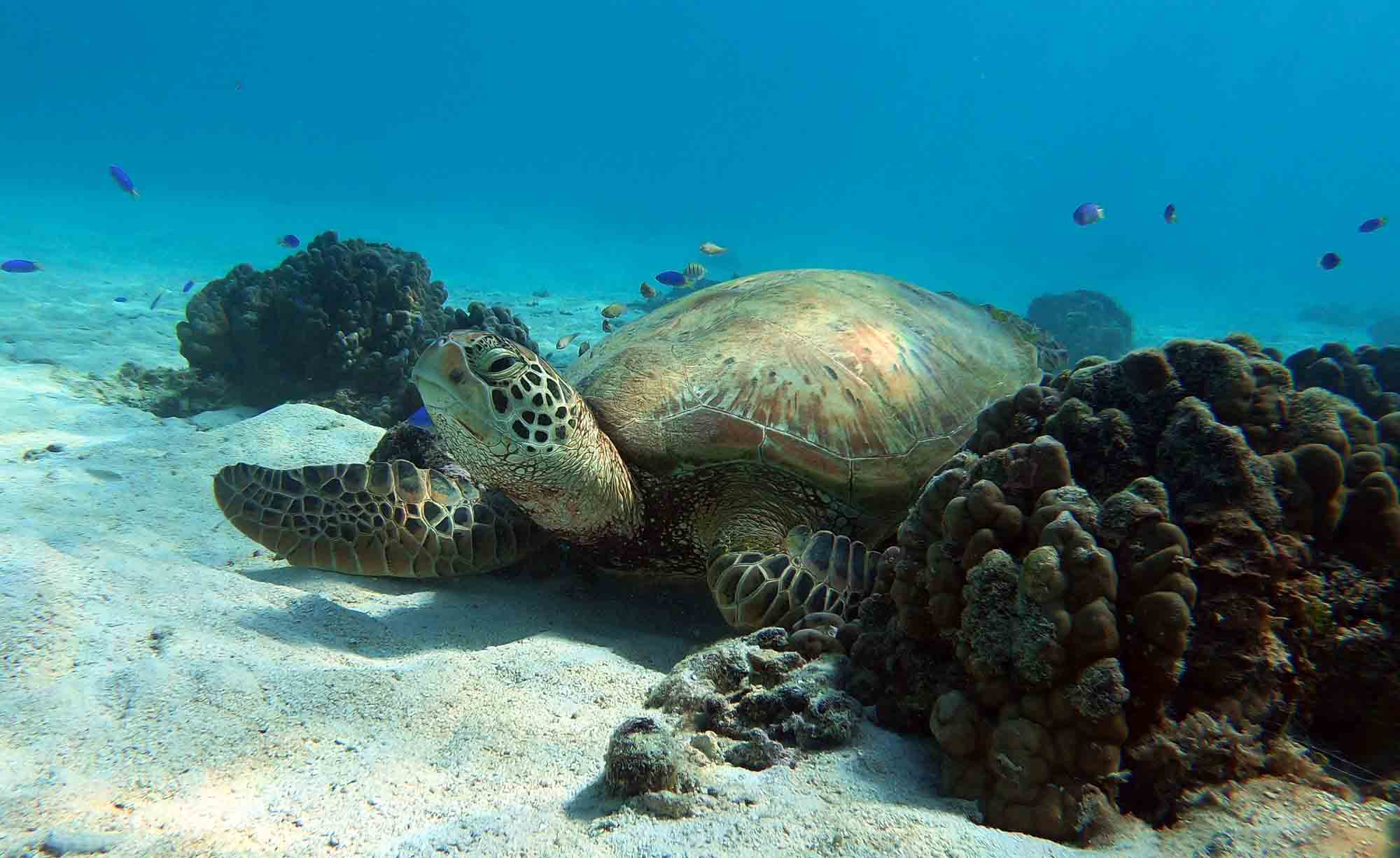 SeaTurtle Snorkeling swim with turtles Moorea Ocean Adventures