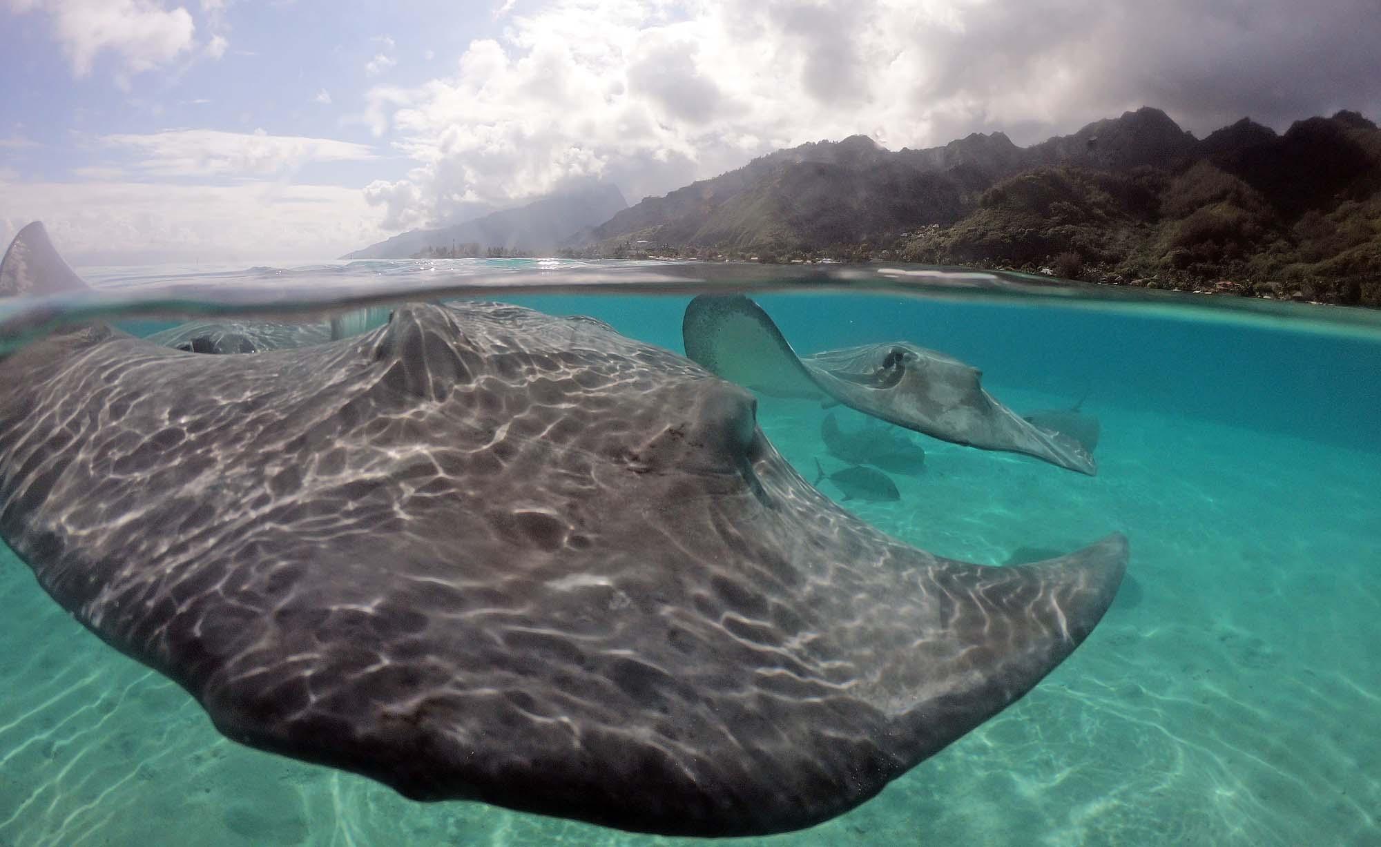Stingrays Sharks Moorea Island French Polynesia Boat Snorkeling Tours