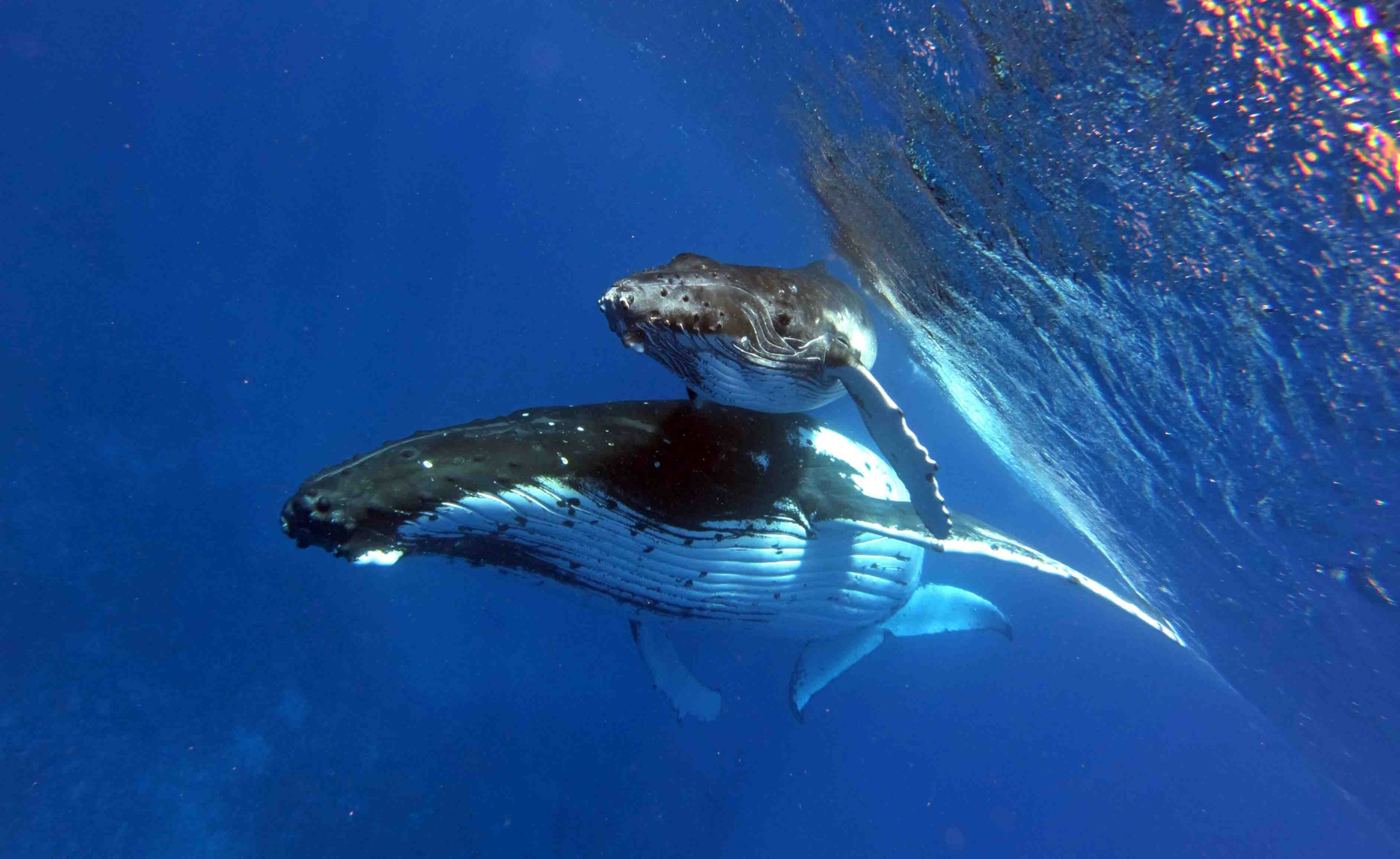 Whale Swim Whale watching Humpback Best private Boat Snorkeling Tour Moorea french Polynesia Tahiti