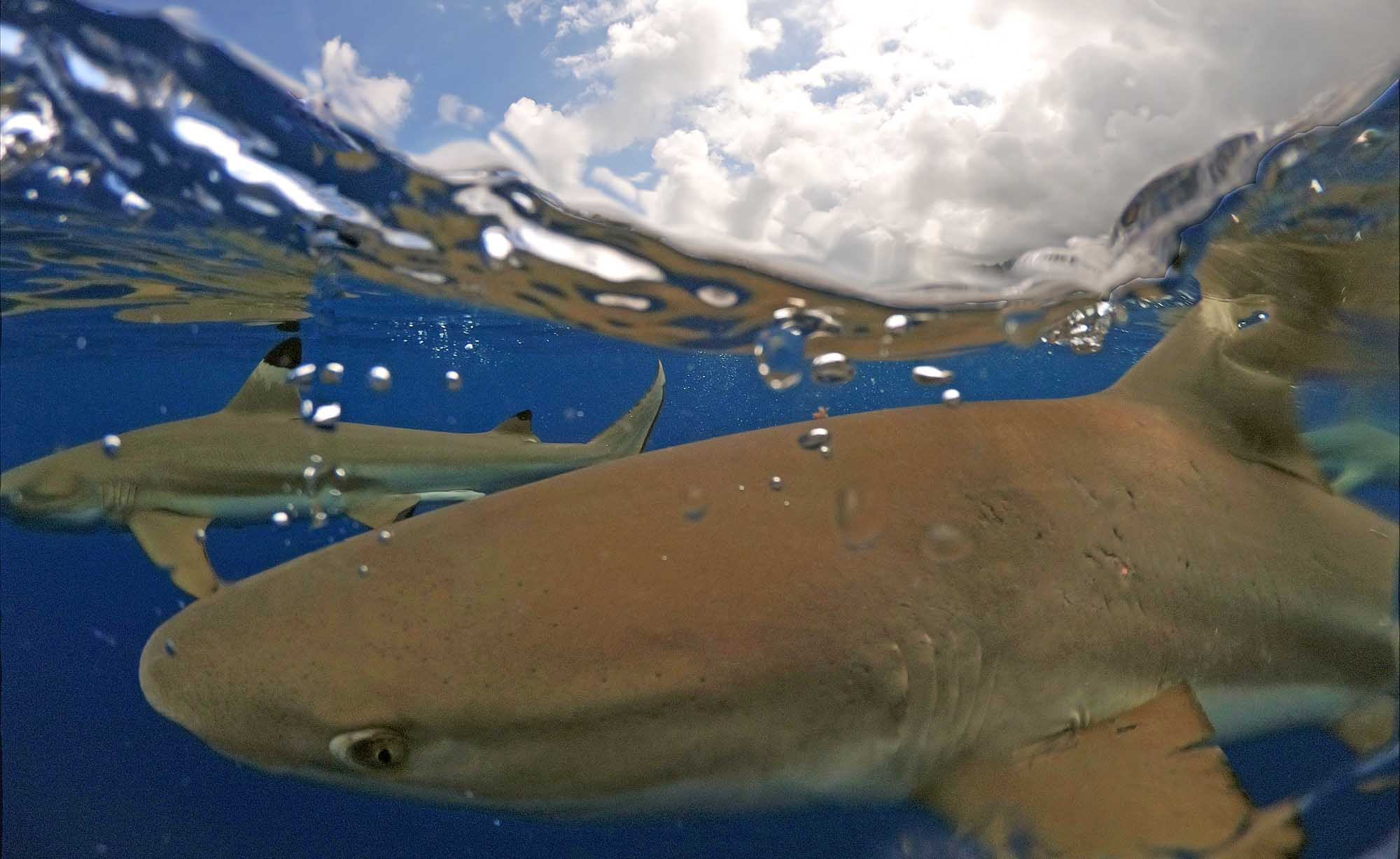 Close encounter with sharks - Moorea Ocean Adventures