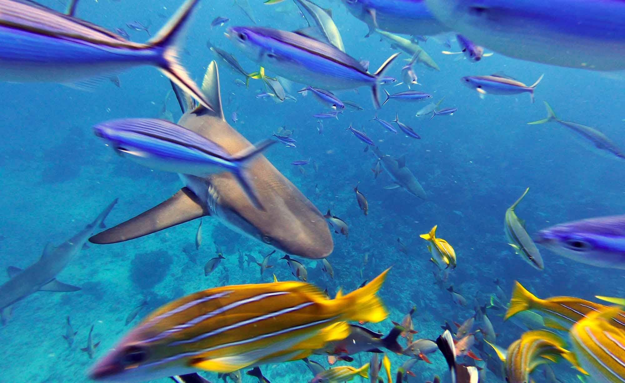 Gray Reef Sharks Diving SNorkeling Moorea Ocean Adventures Tours