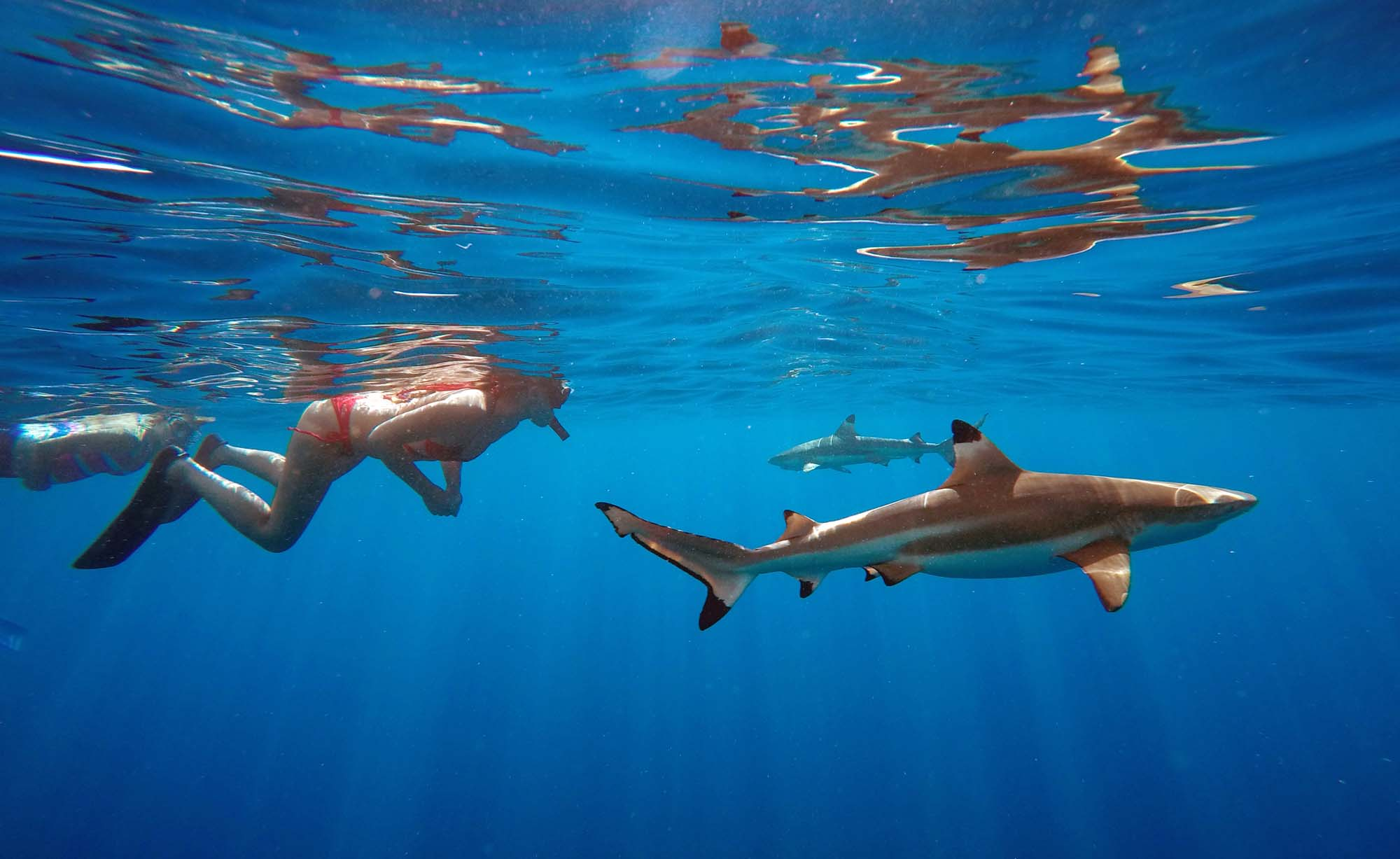 Swim with sharks Best Tour in Moorea Snorkeling