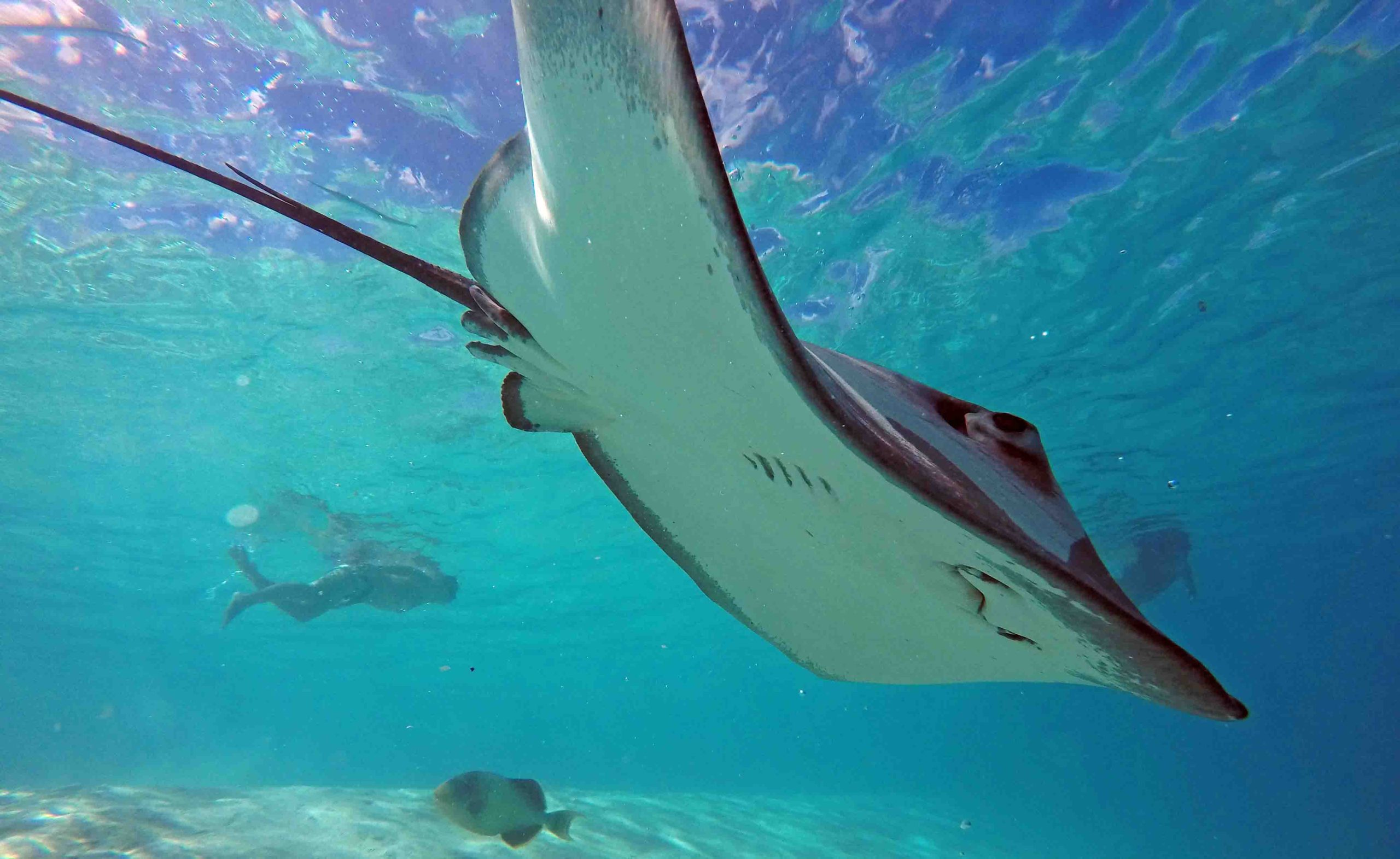 Stingrays Snorkeling Lagoon Private Tours Best Boat Moorea Ocean Adventures