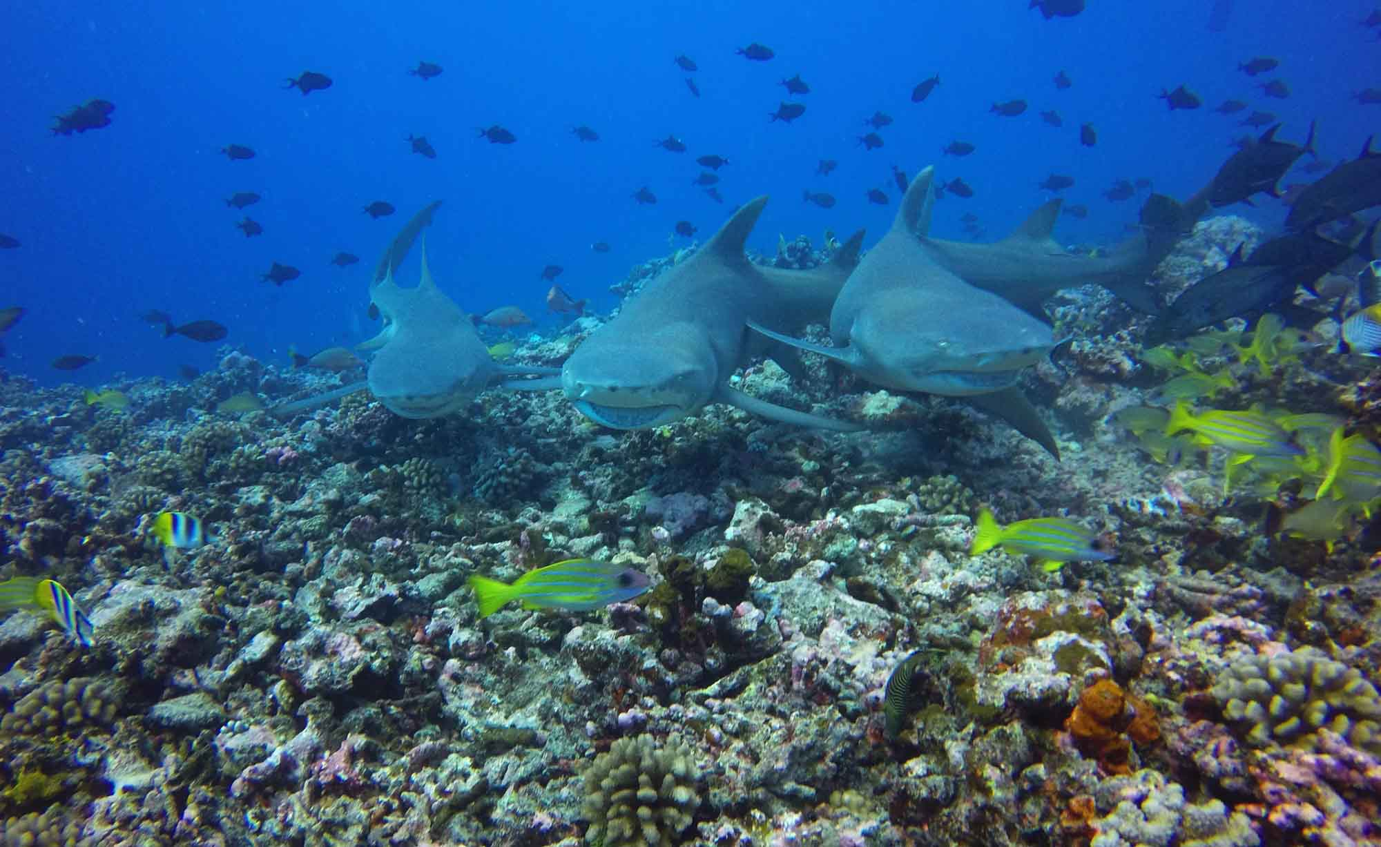 Lemon Sharks Diving Boat Tours Moorea Ocean Adventures