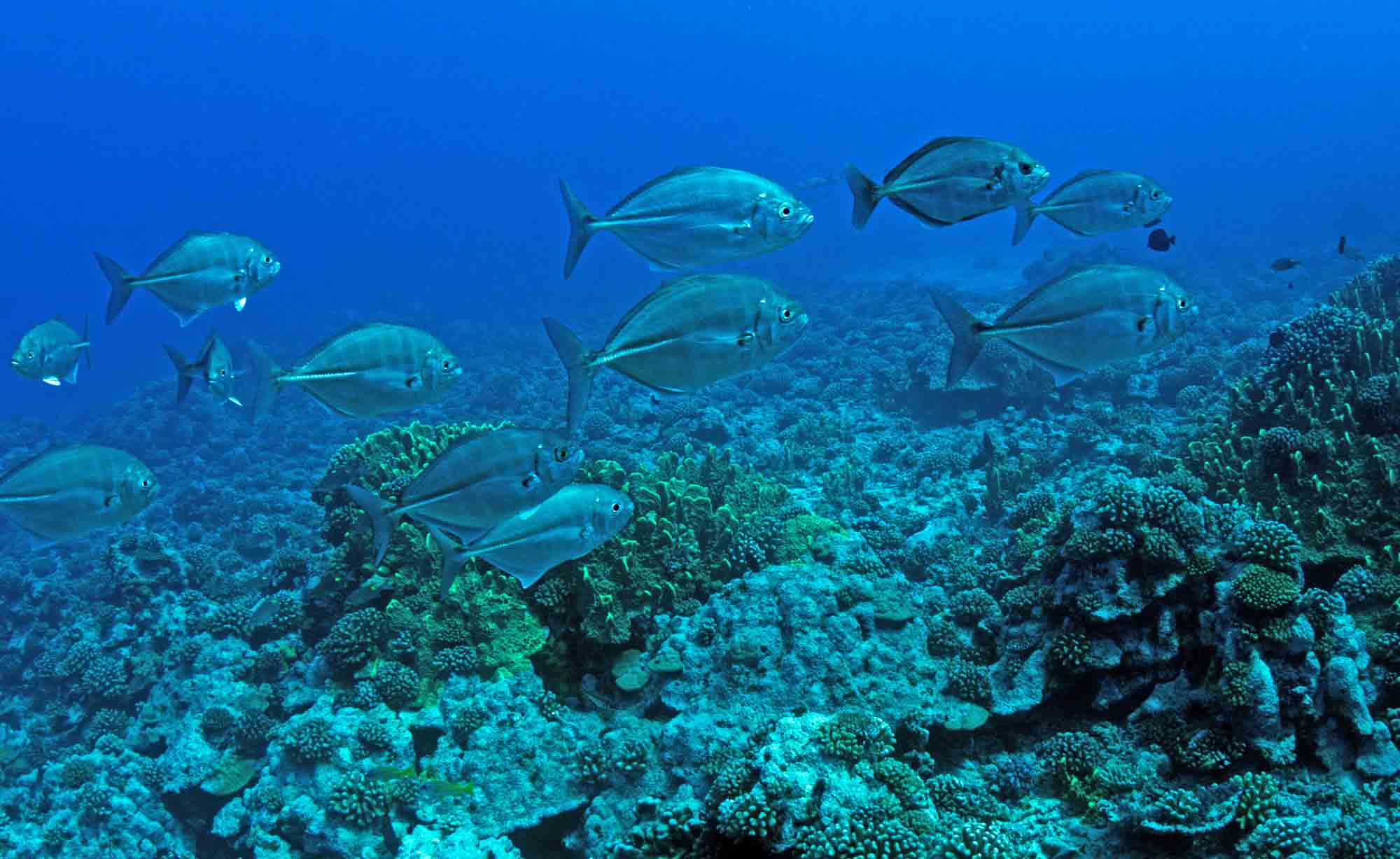 Coral reefs Snorkeling Tropical Fish Best Boat Tour lagoon Freediving Moorea Ocean Adventures Tahiti