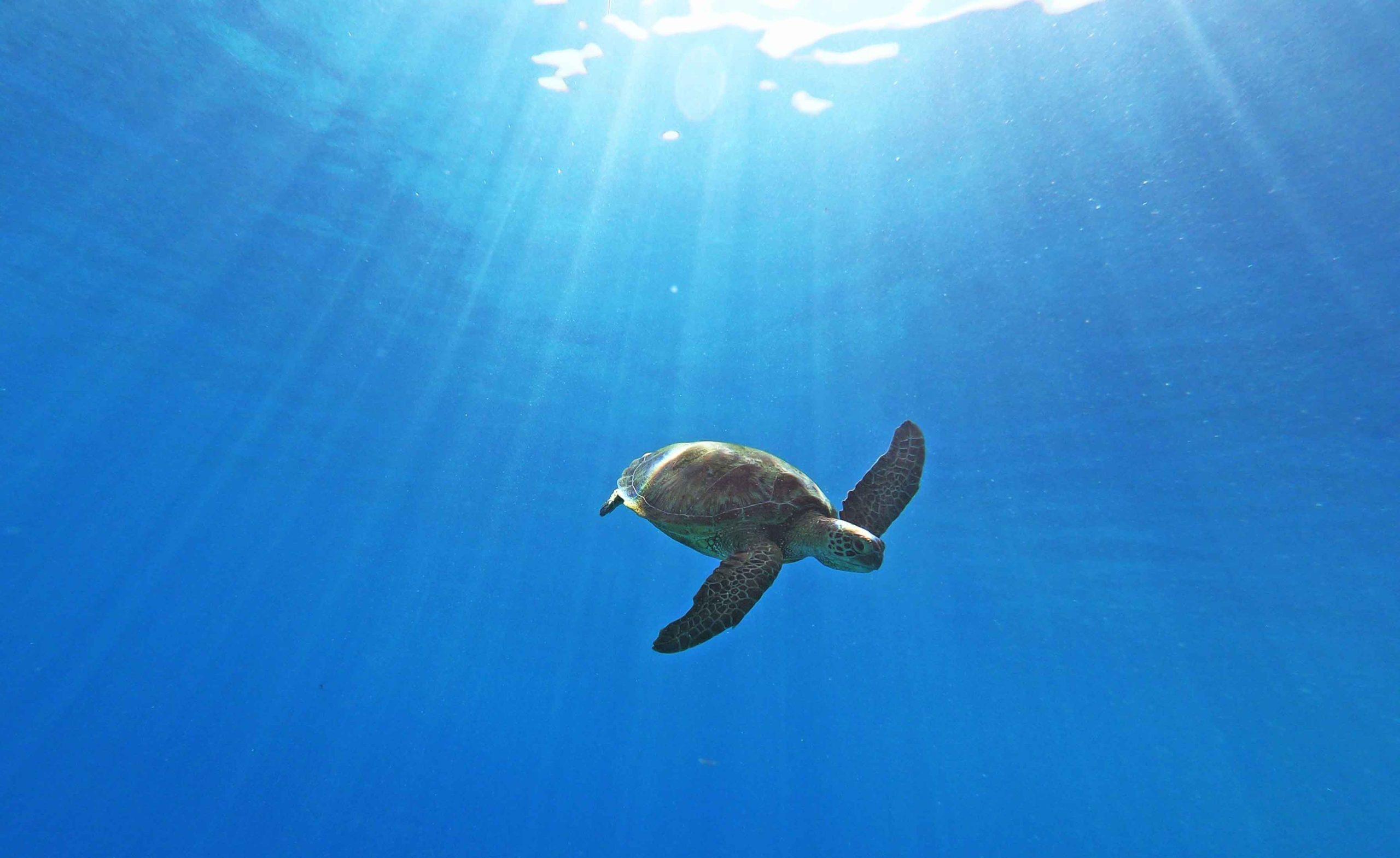 Hawksbill and Green Seaturtles Moorea Tahiti Snorkeling Tour Swim with turtles Private Boat Ocean Adventures